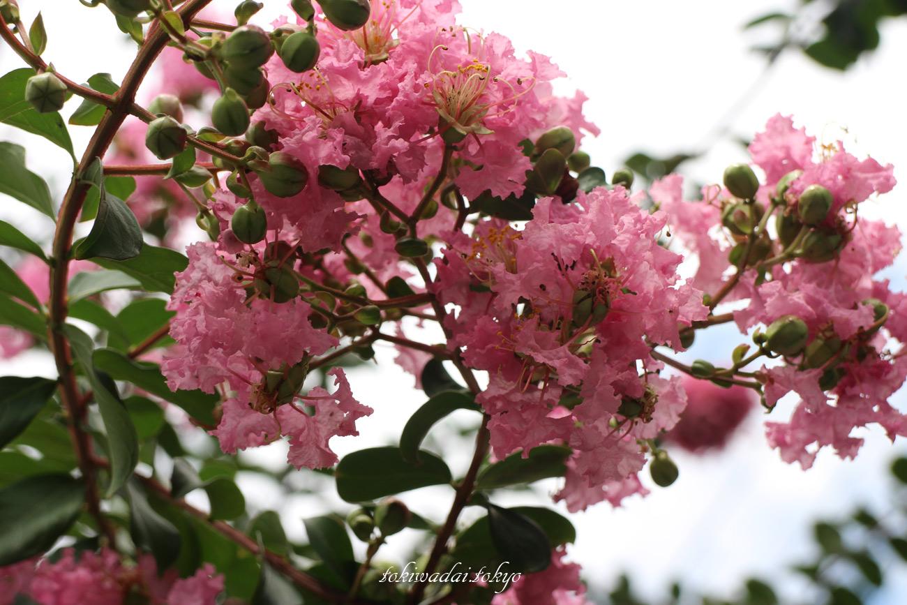 百日紅(サルスベリ)の花、東京都板橋区常盤台。