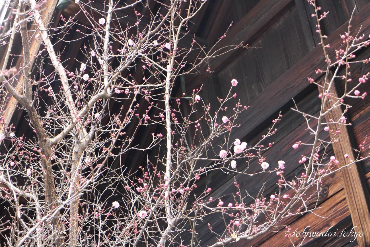 天祖神社の梅の花が咲きだしました。