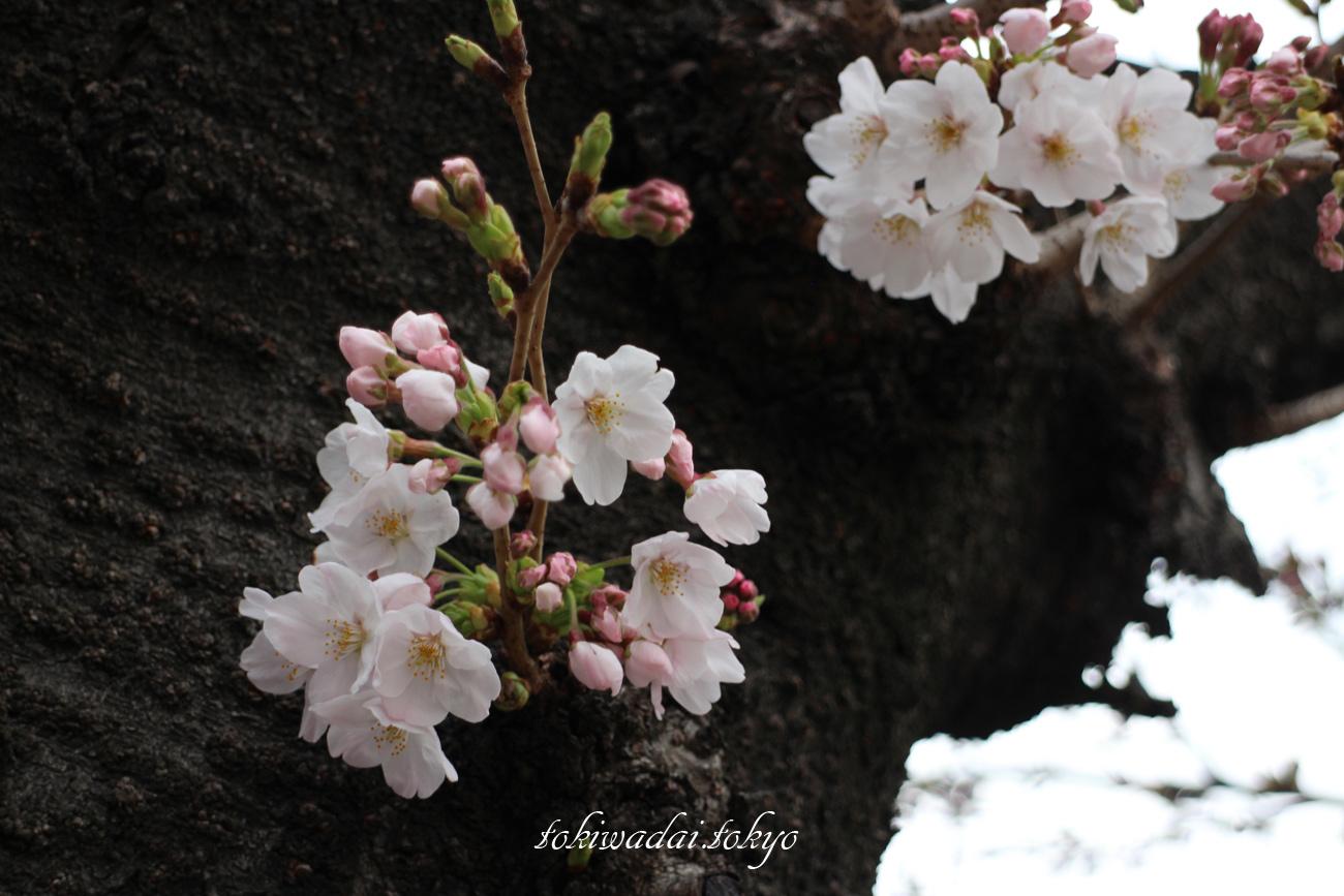 石神井川の桜、咲き始めです。