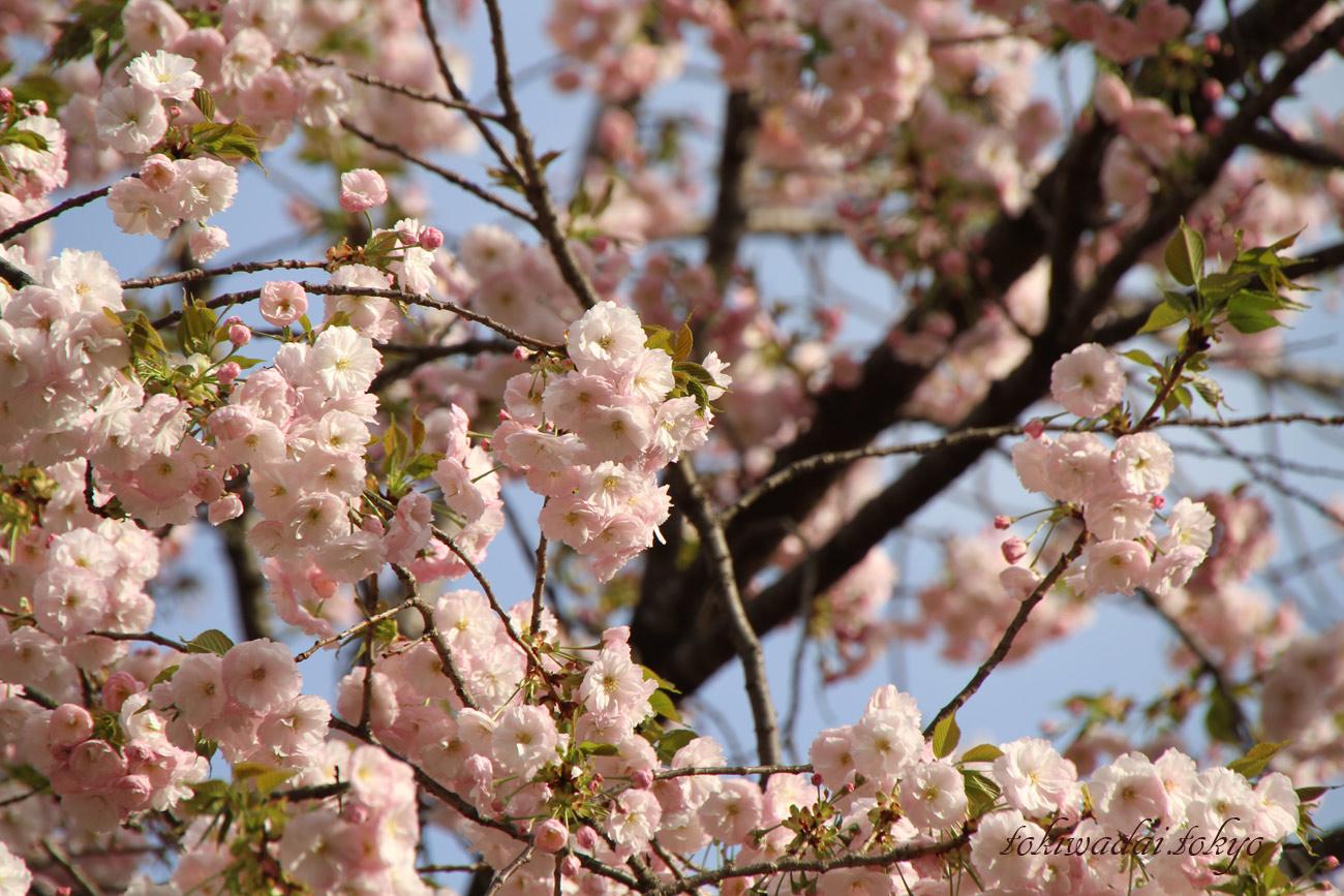 天祖神社の桜が満開で綺麗です。2017年。