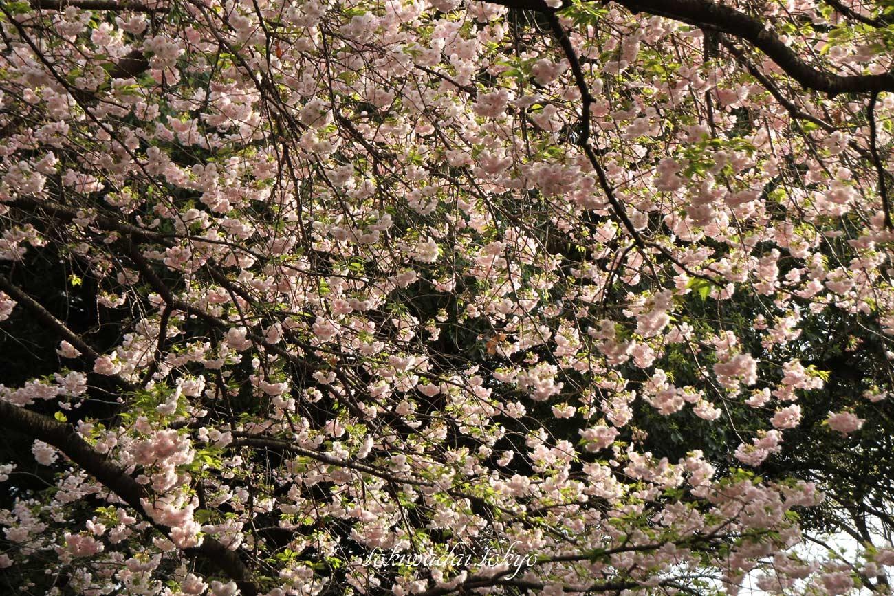 天祖神社の桜が満開です。2017年。