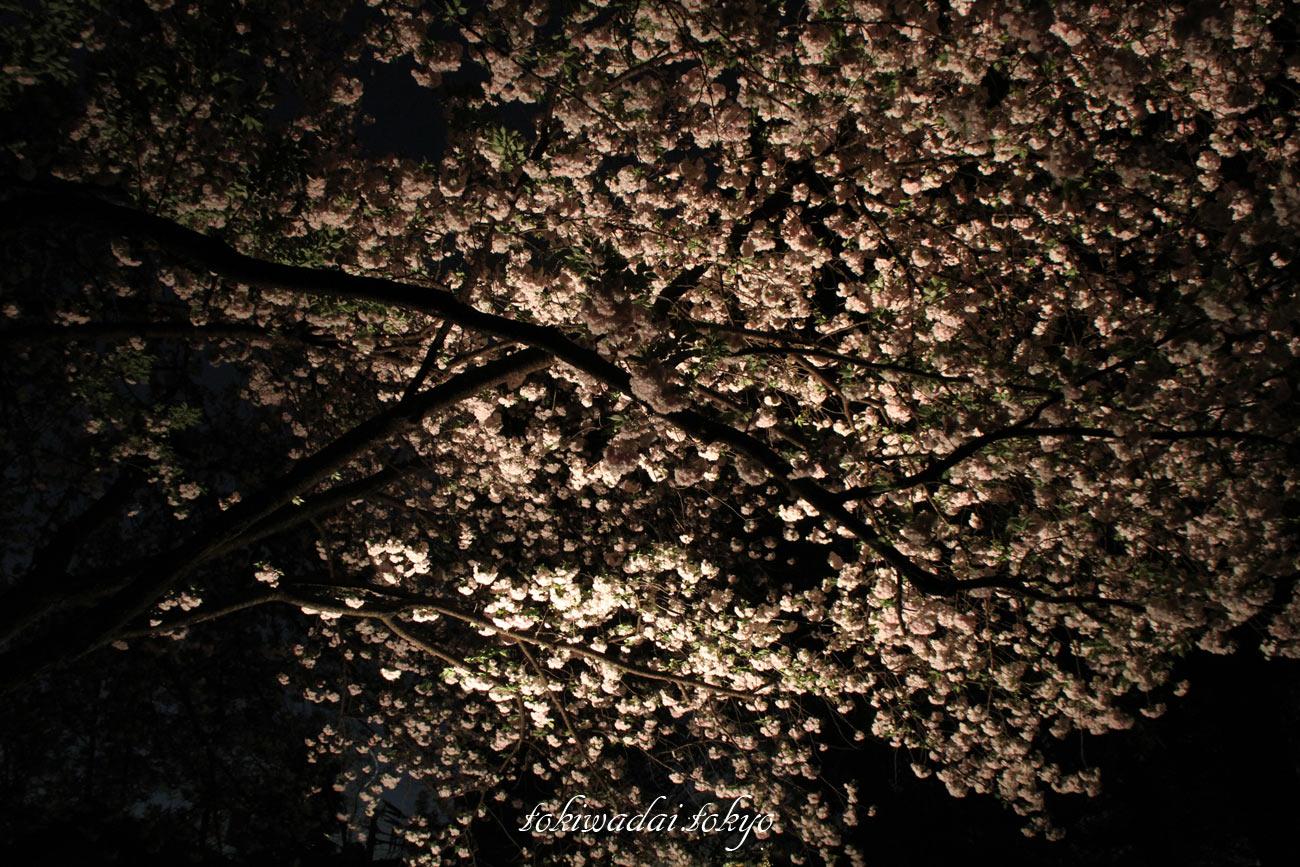 天祖神社の夜桜、2017年