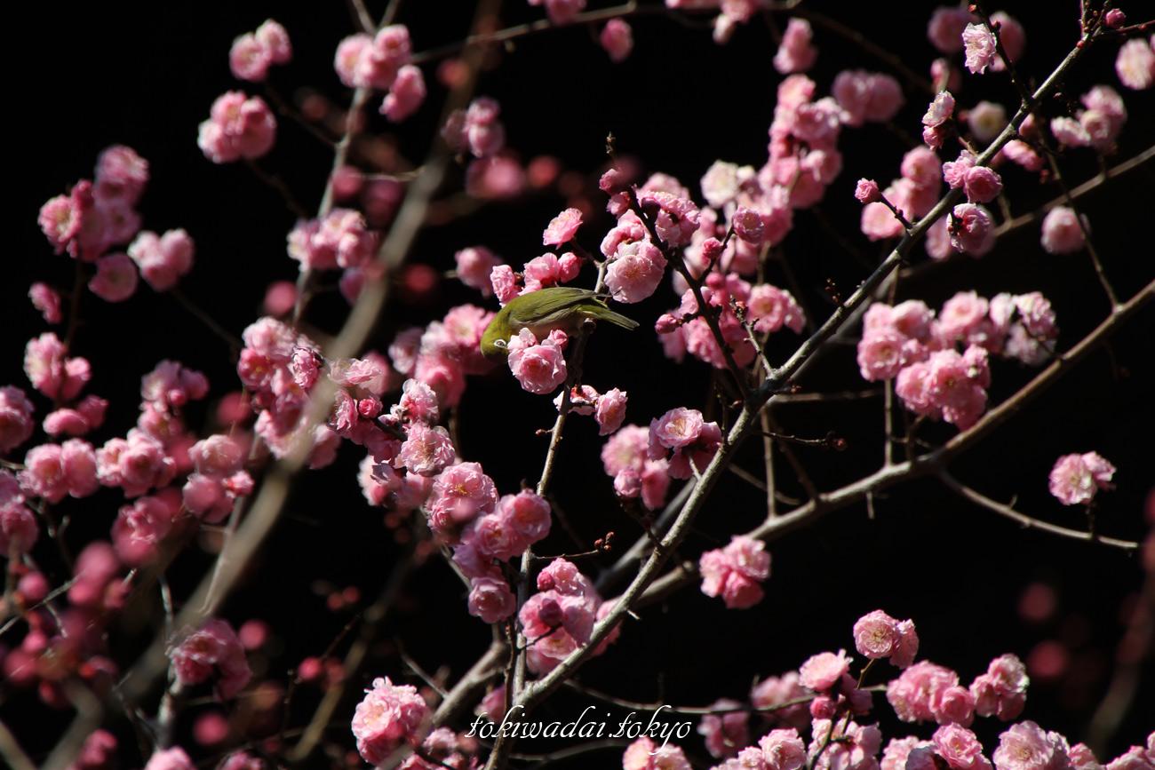 天祖神社、満開の梅の花とメジロ