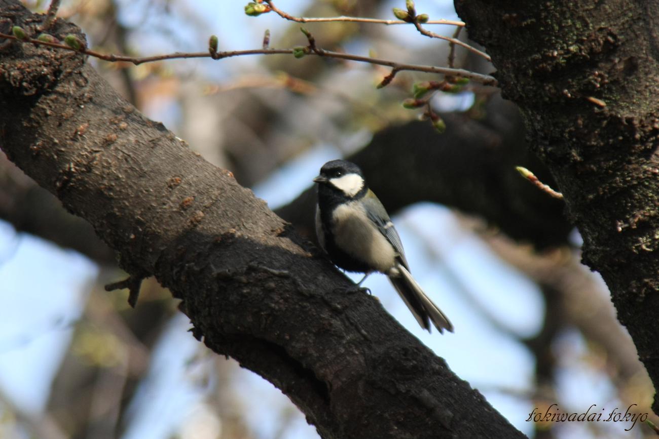 シジュウカラ。石神井川・向屋敷橋(むかいやしきばし)付近の野鳥