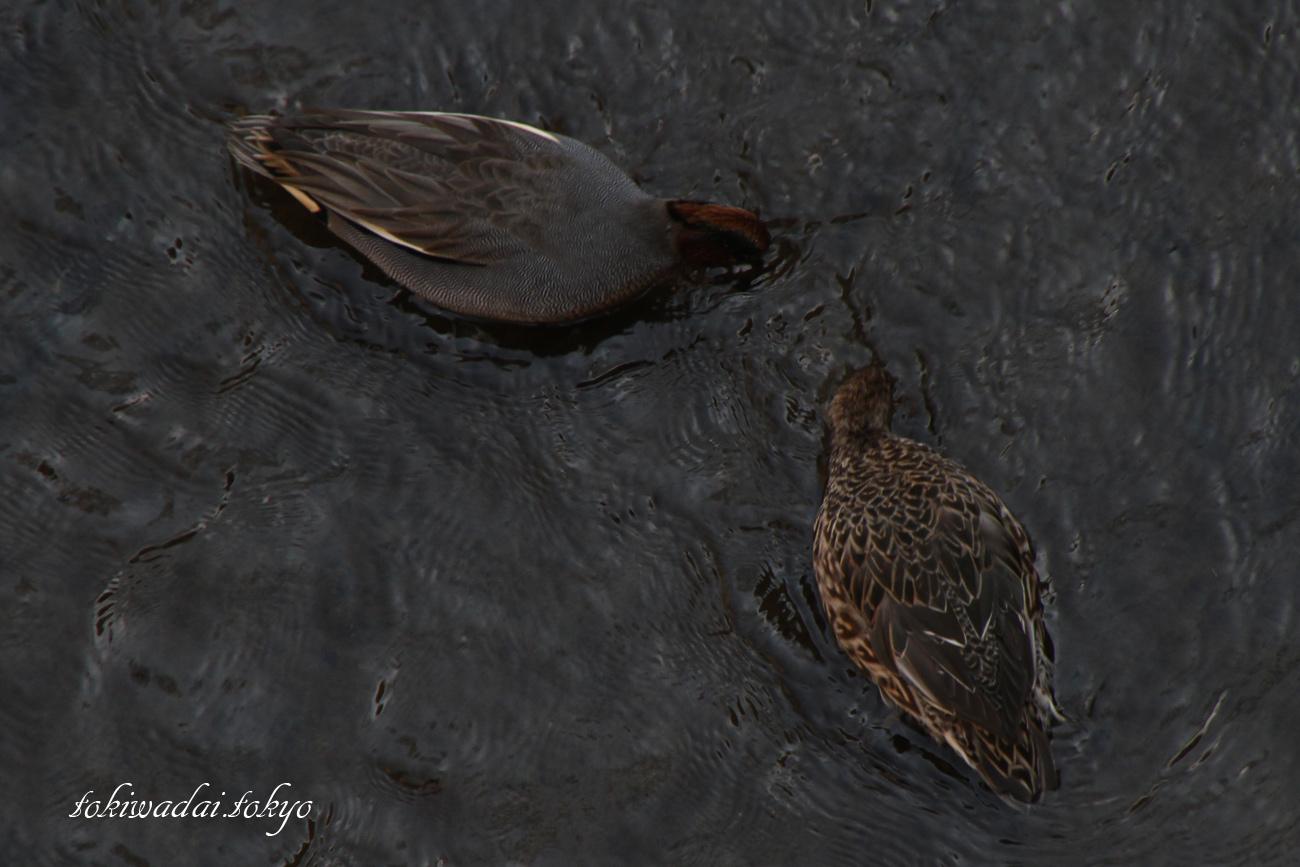 コガモ 上がオス、下がメス。石神井川・向屋敷橋(むかいやしきばし)付近の野鳥