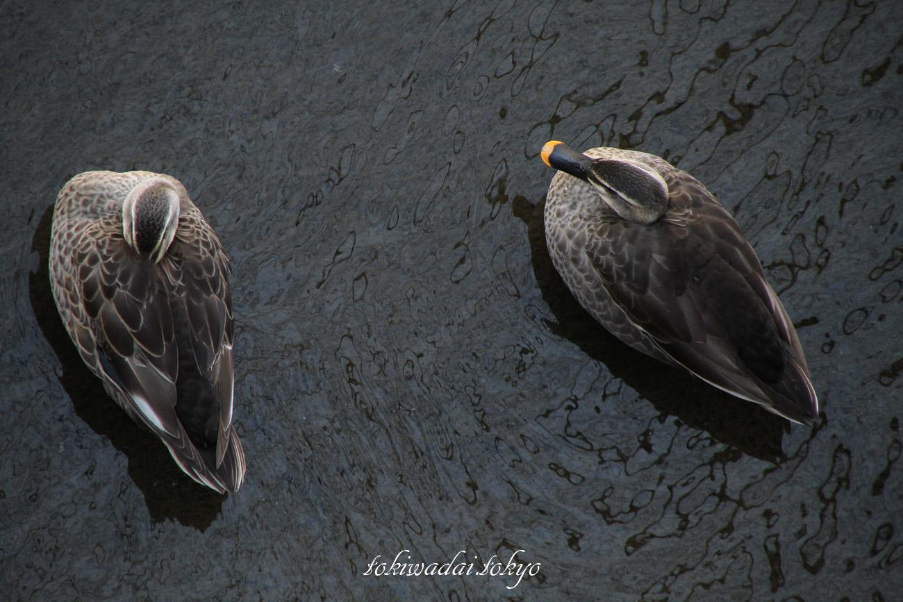 カルガモ 石神井川・向屋敷橋(むかいやしきばし)付近の野鳥